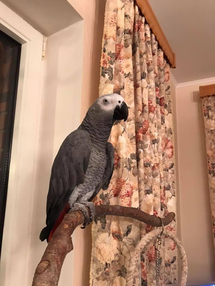 Попугай Жорик продолжает раскрывать свои таланты. Вечерний разговор с хозяйкой.