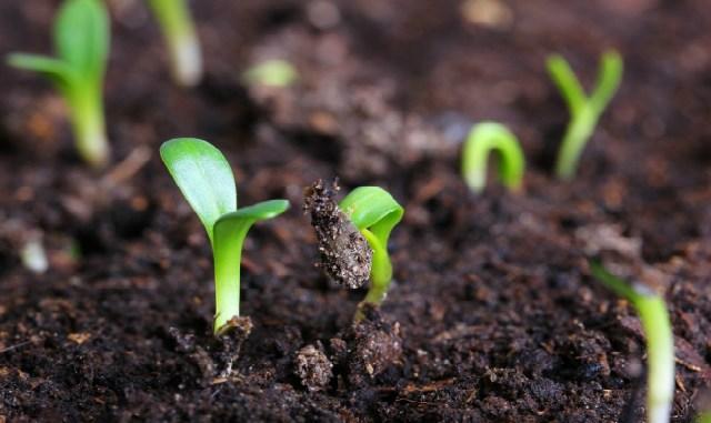 Семена сажаем в… кипяток