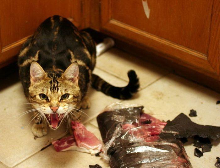 Пойман с поличным — коты, которые пытались что-то украсть, и попались