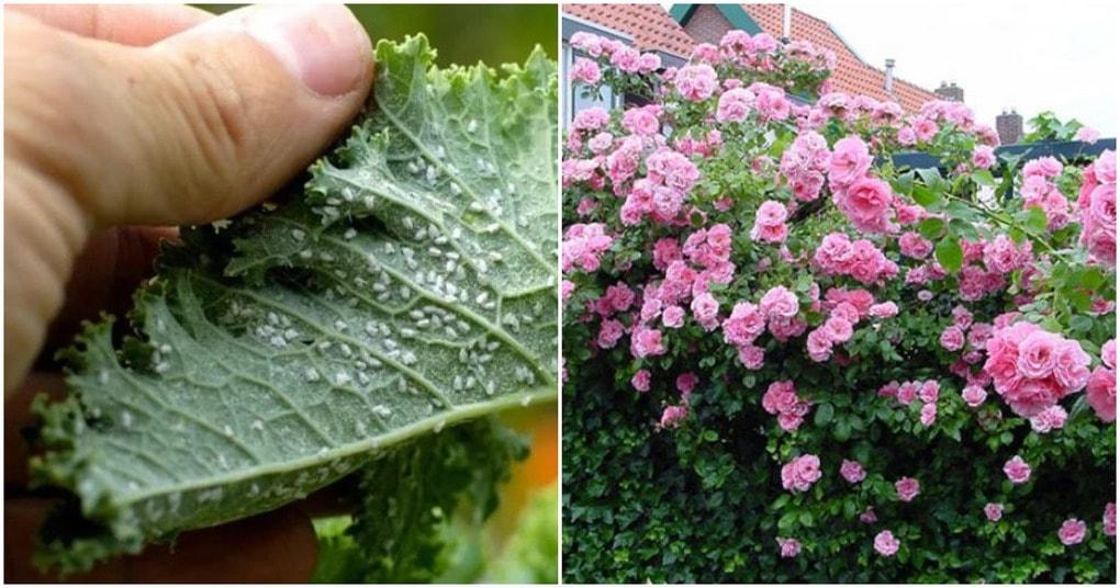 Простой рецепт, который поможет вам спастись от тли в саду с помощью водки