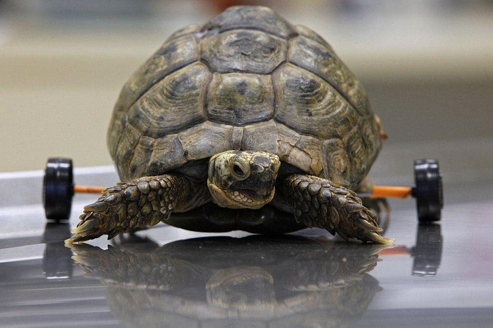 Черепаха Цвика