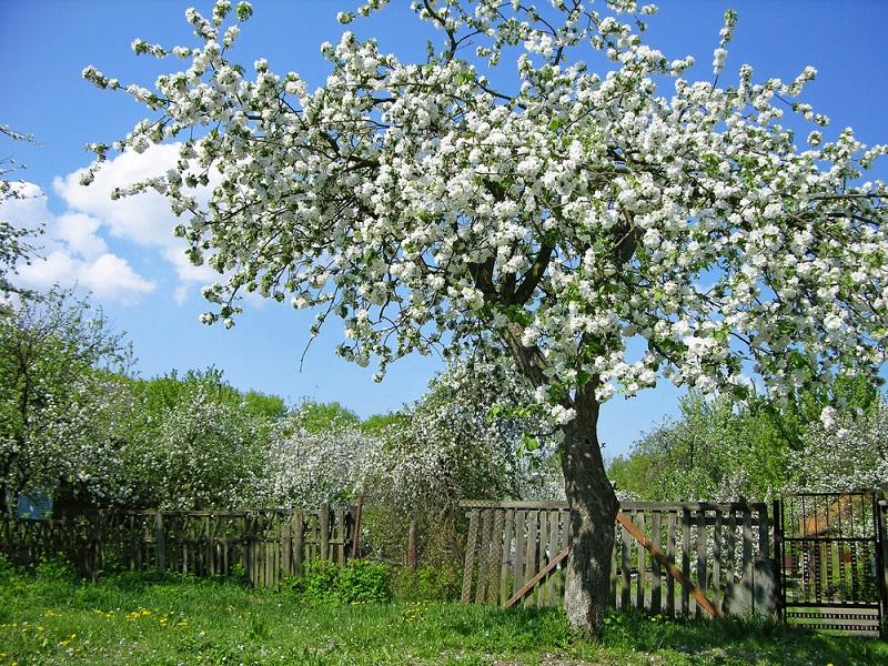 деревья можно сажать возле дома
