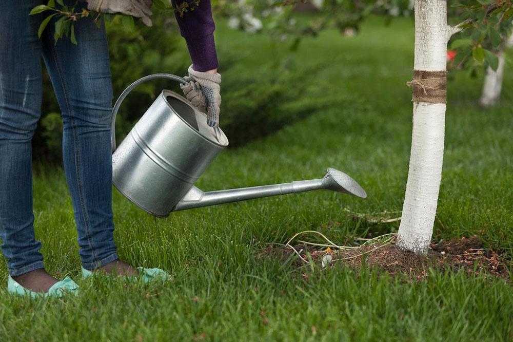 Как поливать плодовые деревья летом?