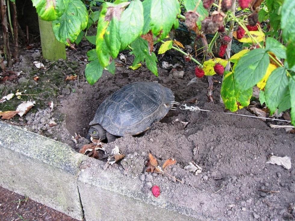 Немец посадил живую черепаху на цепь и уехал в отпуск