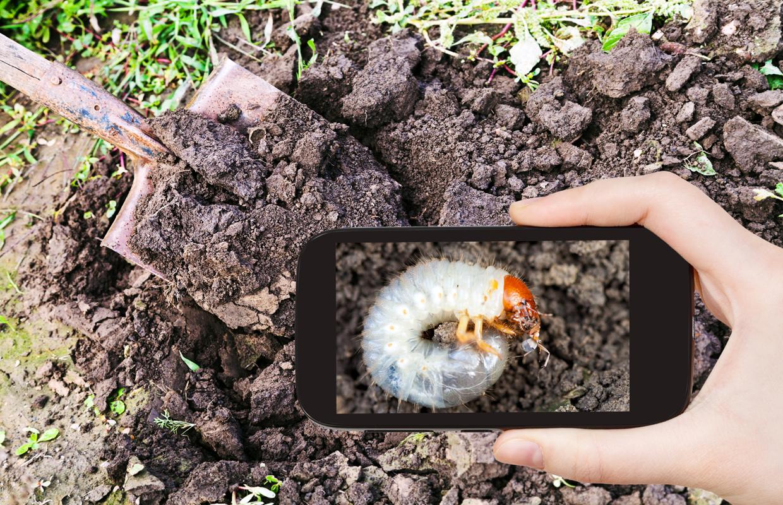 Как спасти землянику от хруща