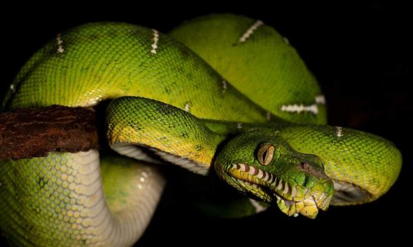 В зависимости от того, где обитает рептилия, окрас может варьироваться от блекло-жёлтого, до ярко-зелёного с различными вкраплениями.