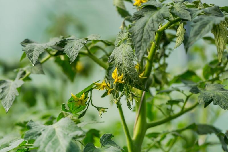 Вот как при цветении распознать пустоцвет на помидорах