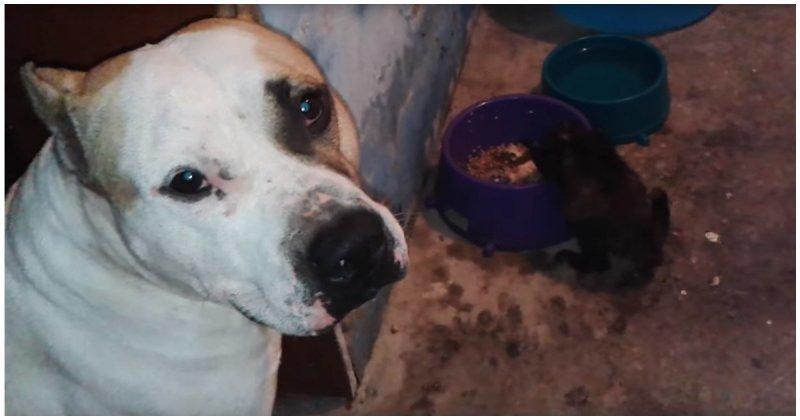 Пёс решил поделиться своей едой с голодным котенкомМир не без добрых собак!