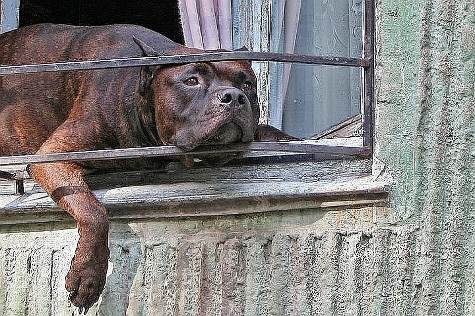 Общественники предложили штрафовать за выгул опасных собак без намордника