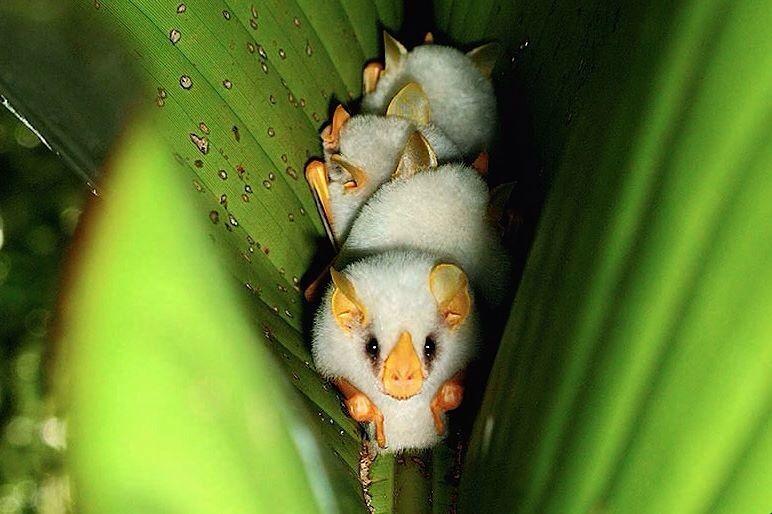Малыш белый листонос — вид летучих мышей. детёныши, интересное, фото