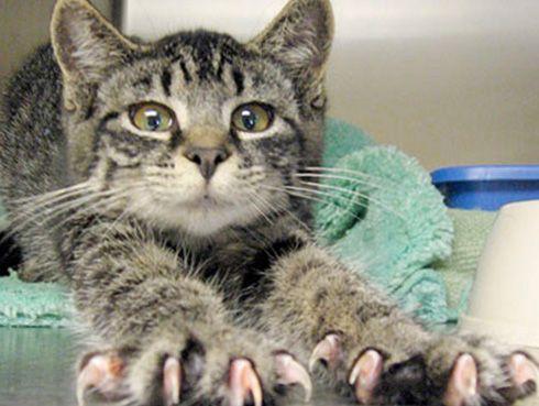 Можно ли кошкам стричь когти?