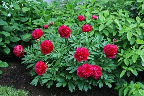 САД, ЦВЕТНИК И ОГОРОД. Пионы в саду: выращивание и уход