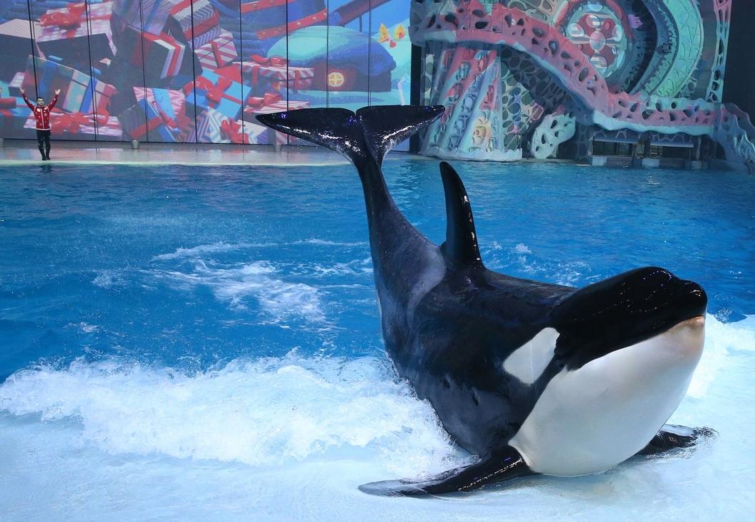 Косатка на миллион.  Кто наживается на экспорте морских млекопитающих в Китай и почему запрещенный отлов этих животных не могут остановить ни волонтеры, ни чиновники