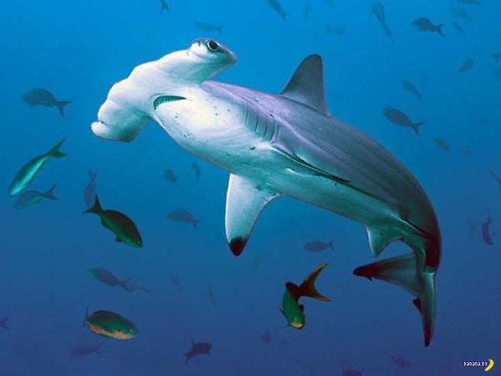 Череп акулы-молота видели?