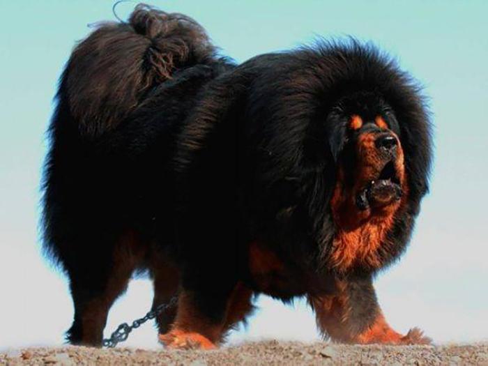 Так выглядит тибетский мастиф.