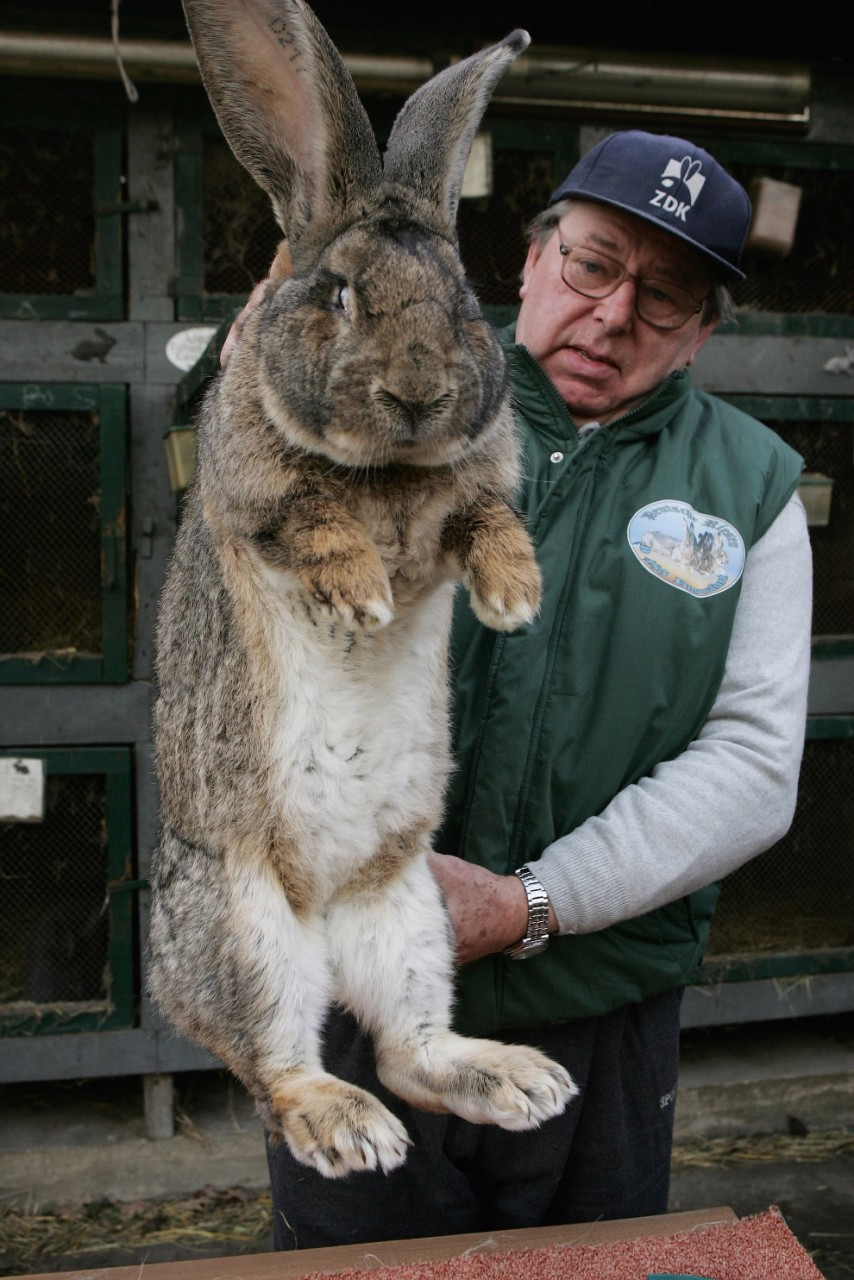 73000052SG001_Giant_Rabbits