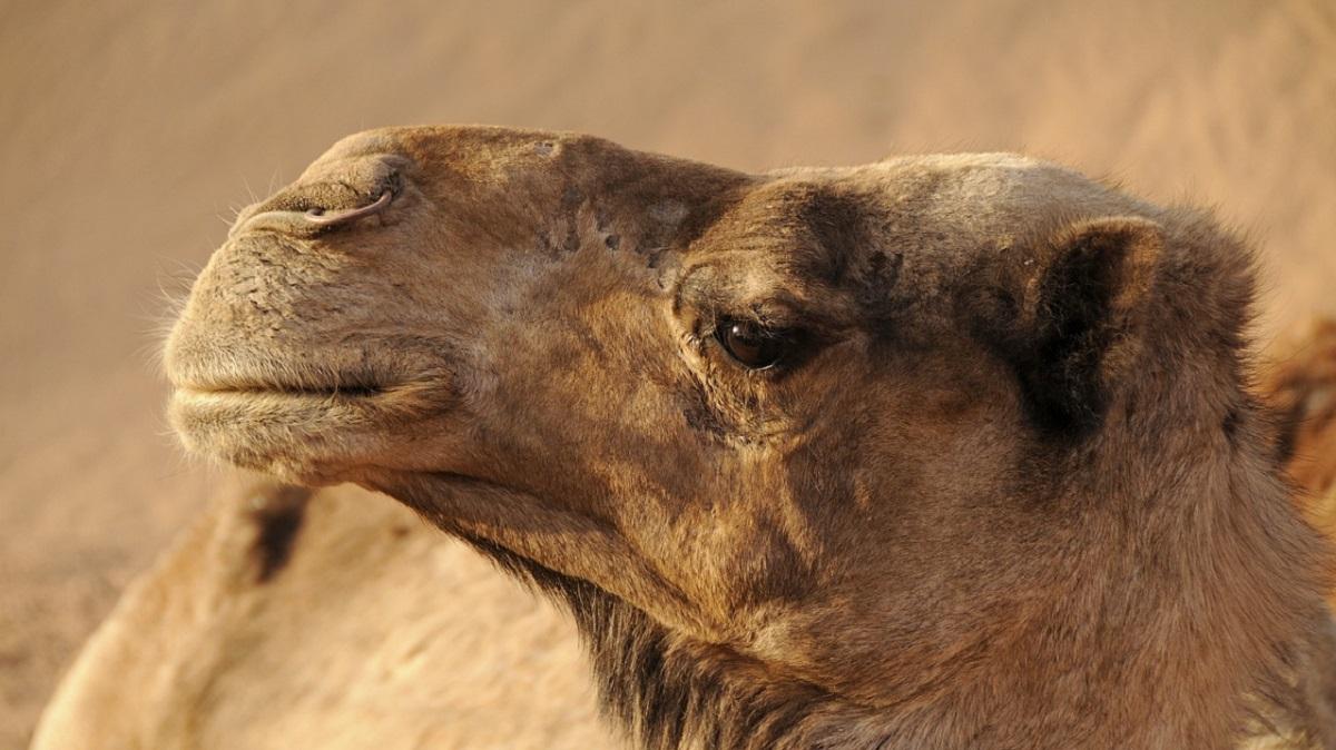 Верблюд укусил за лицо смотрителя зоопарка