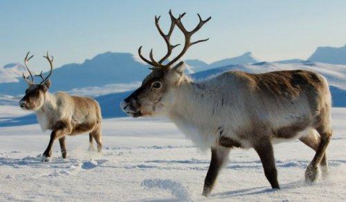 Малоизвестные факты про северных оленей