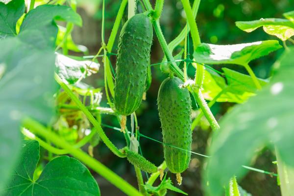 Пасынкование - самый простой способ увеличить урожай огурцов