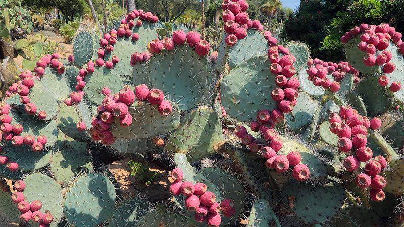 """Кактусовый сад """"Pinya de Rosa"""" в Бланесе (Испания)"""