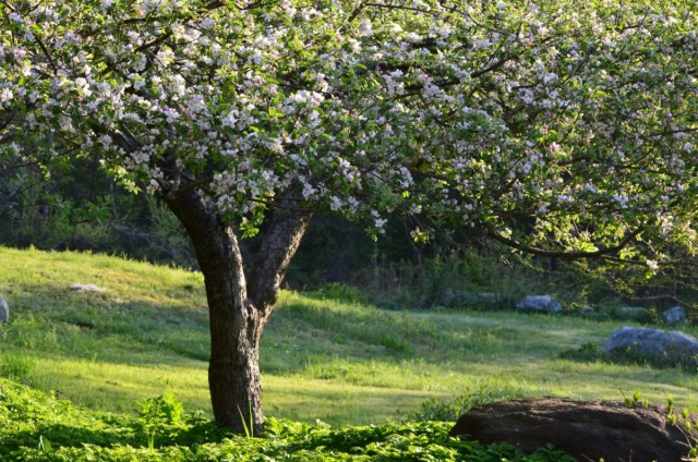 Как омолодить старую яблоню