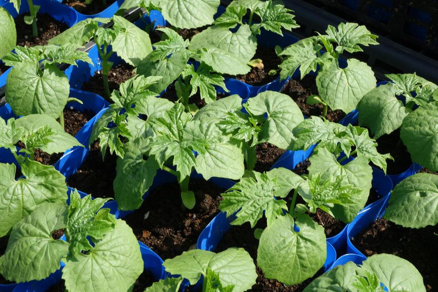 Как вырастить момордику: посев, посадка экзотической лианы и уход за ней дача,сад и огород,садоводство,урожай