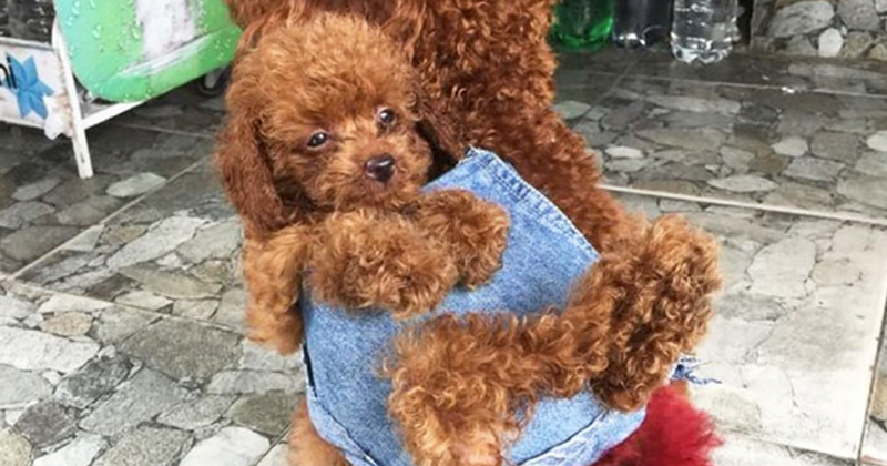Вьетнамец сшил для своих собак маленький рюкзак, чтобы те носили в нем щенка