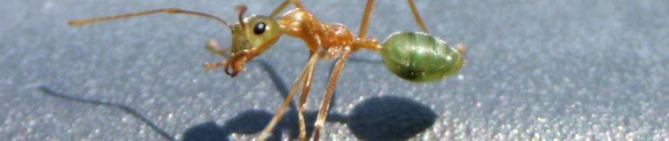 Муравьи-портные или муравьи-ткачи
