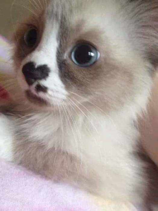 Из него вырастет кот, который носит свое «сердце» на носу.