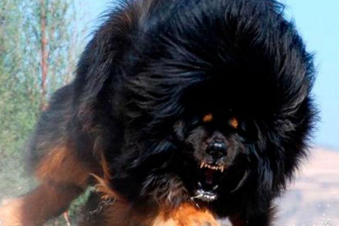 Тибетский мастиф: собака, которая может противостоять стае волков