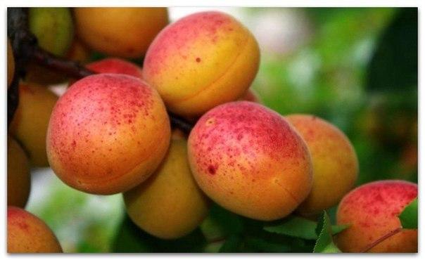 САД, ЦВЕТНИК И ОГОРОД. Хитрости посадки, выращивания и ухода за абрикосами