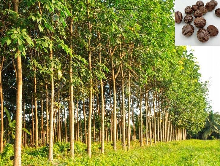 Плантация и семена гевеи – каучукового дерева