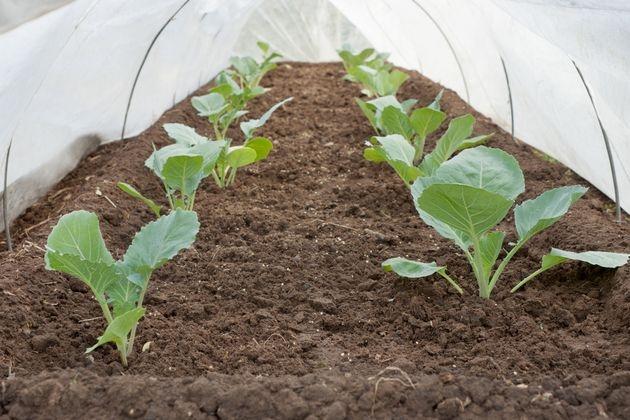 Простой парник для рассады капусты