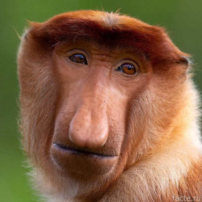 картинки обезьян с длинным носом