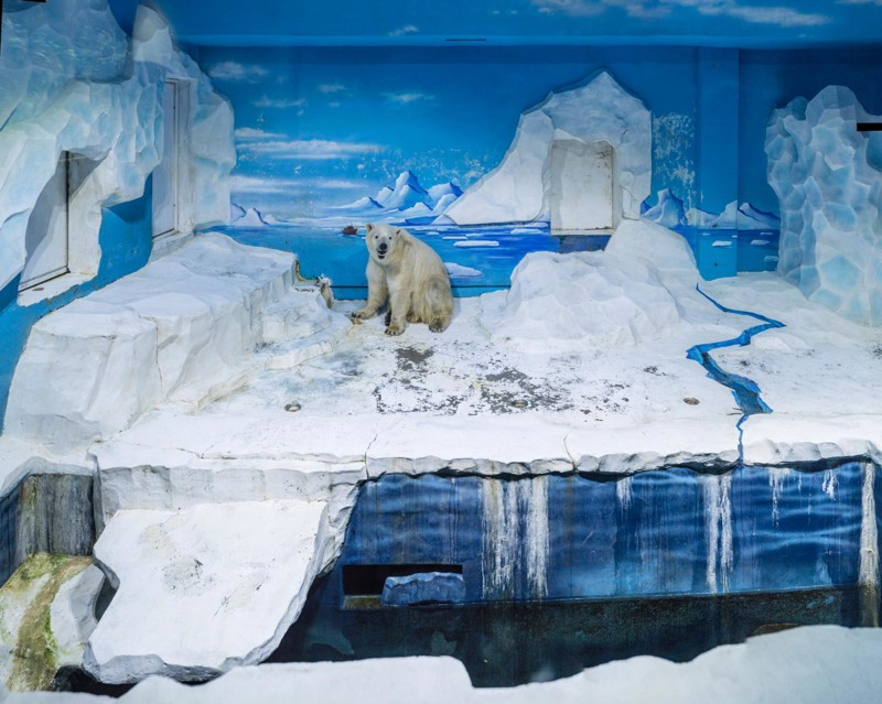 За решеткой: грустная жизнь белых медведей в неволе