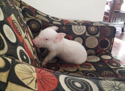 Мини-свинка превратилась в 3…