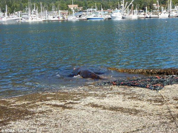 Морской лев, который не хотел возвращаться в океан, наконец вернулся в воду