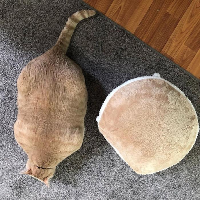 Американская пара взяла из приюта очень толстого кота, чтобы помочь ему похудеть