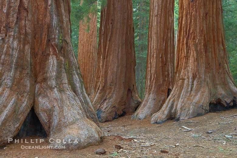 Почему никто не видел, как умирают самые высокие долгожители — секвойи
