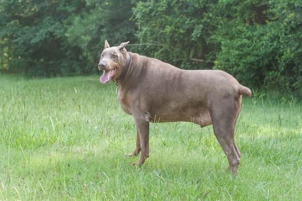 10 самых толстых в мире собак, которым живется непросто домашние животные,наши любимцы
