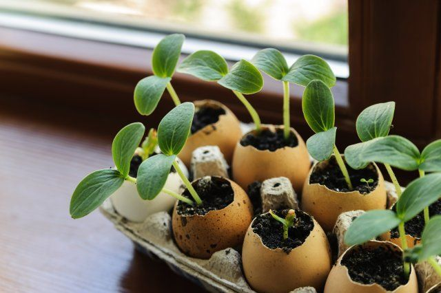On the windowsill is a box of sprouts in egg shells