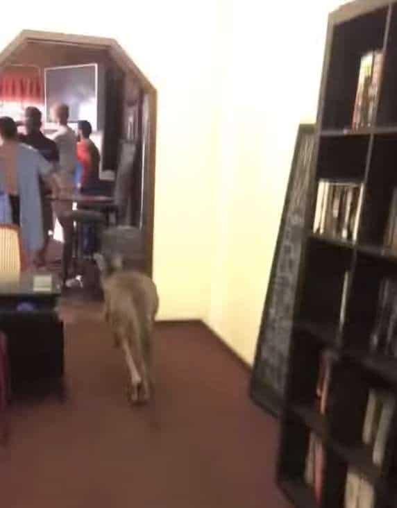 кенгуру в кафе