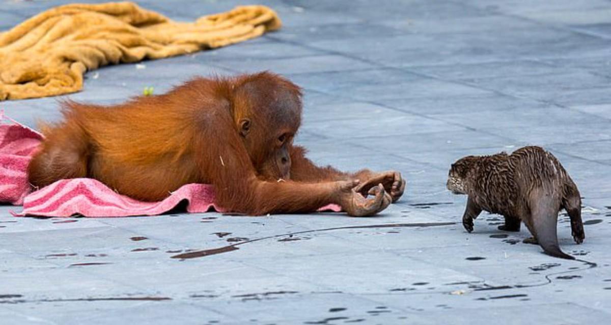 Дружба семьями: в бельгийском зоопарке семейство орангутанов подружилась с семьей выдр