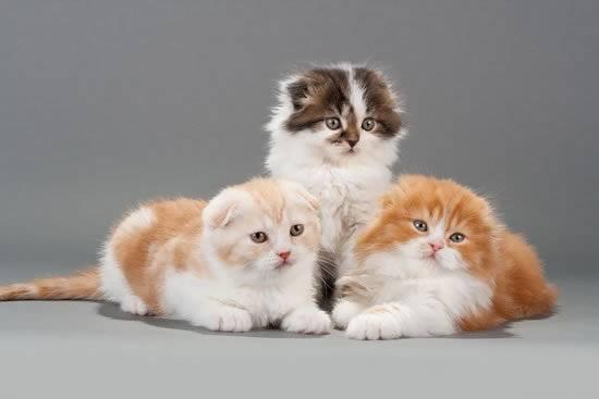 Что может быть милее котят породы хайленд-фолд? Восхититесь вместе с нами