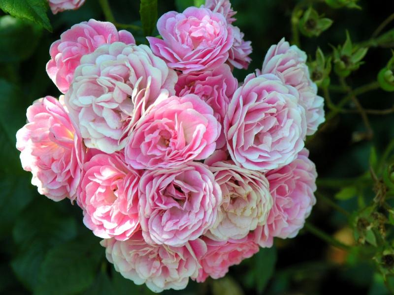 Знаменитый International Rose Test Garden в Портленде