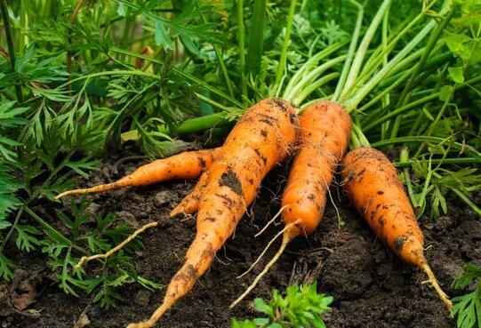 Морковь способна обеднять почву гораздо сильнее, чем огурцы и помидоры. Что можно посадить на место морковной грядки