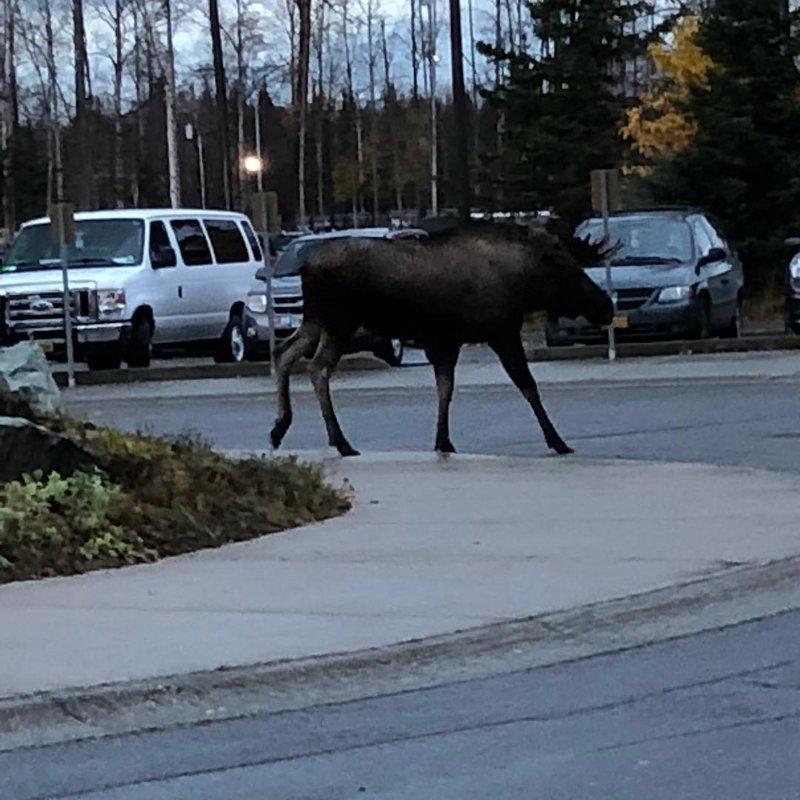 там говорят, что ты поймешь, что живешь на Аляске, если видишь каждый день лосей аляска, жизнь, лось, медведь, путешествие, сова