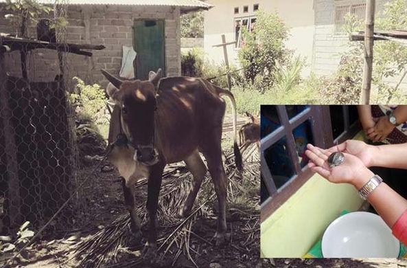 СМИ: корова в Индонезии родила черепаху