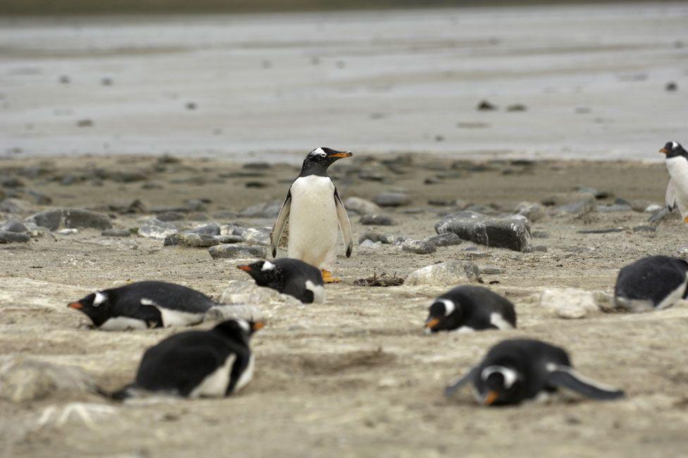 Мины спасают пингвинов отбраконьеров наФолклендских островах чтобы, животных, время, Интересная, Постепенно, заповедником, пингвиньим, считать, можно, наэту, территориюиззамин, попасть, немогут, браконьеры, Втоже, активировать, наних, восстановилась, ихвеса, изначальная