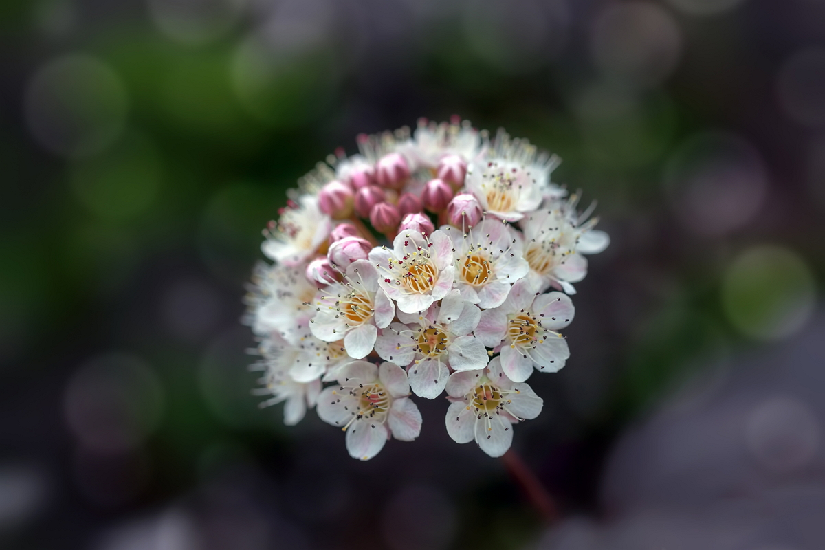 Цветки пузыреплодника